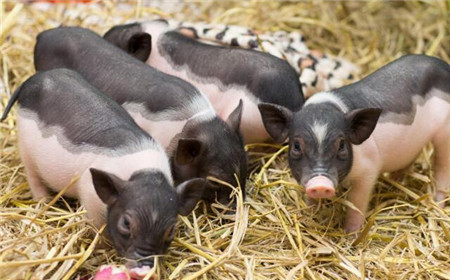 以后养猪也成一种投资!90%养猪人要面临重大打击