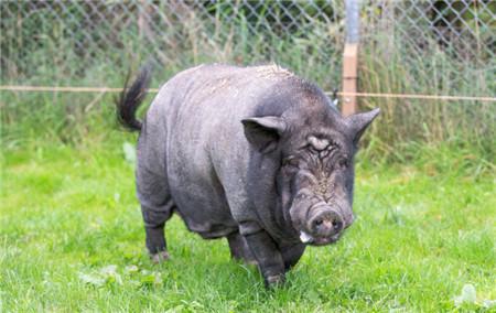 当地时间2017年10月11日,英国剑桥,这头胖胖的黑猪简直就是英国儿童文学作家迪克金-史密斯的小说《牧羊猪》的活生生版本。10岁的黑猪Buzz生活在皇家防止虐待动物协会救援中心,然而不像一般的猪那样吃吃睡睡。(东方IC 责编:赵建东 )