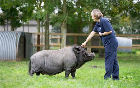 成精了!英国被救助的黑猪把自己当成狗,会听命令比狗更温顺