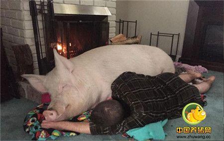 让他俩感到担忧的是,小粉猪的食量越来越大,体型越来越庞大,已经不能把他叫做小粉猪了。