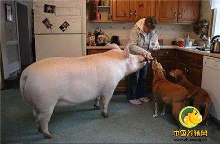 这和当初想买的小粉猪不一样,这个庞然大物让夫妇俩的内心崩溃了。