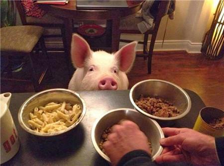 宠物迷你小粉猪两年变身巨型猪 夫妻俩的内心是崩溃的