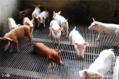 庆大霉素在养猪使用中有哪些特点?