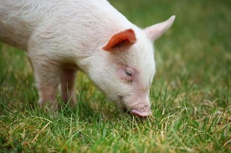2017年10月16日(20至30公斤)仔猪价格行情走势
