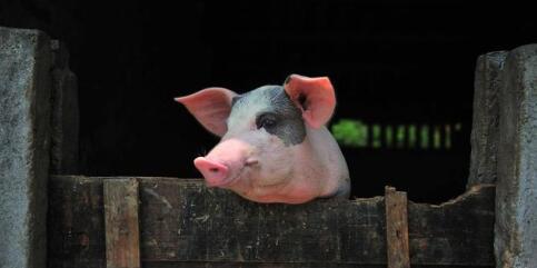 11月猪价要上涨?规模场今年产能已增20%以上!
