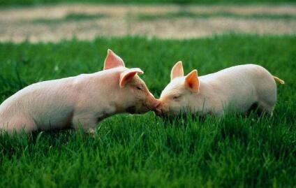 猪价行情是否开启上行模式?猪价马上迎来消费旺季