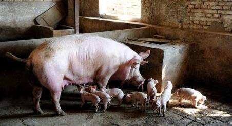 环保压减生猪存栏:散户离场,养猪业将成为巨头的生意