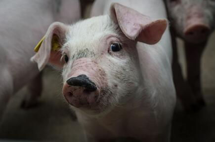 养猪业正值大清洗,有人却在偷偷乐,你必须了解
