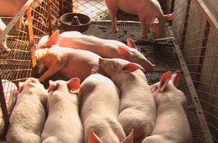 论十月份猪价对年前猪价走势的重要性