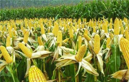 大家好,给大家介绍一下,新玉米对猪的危害