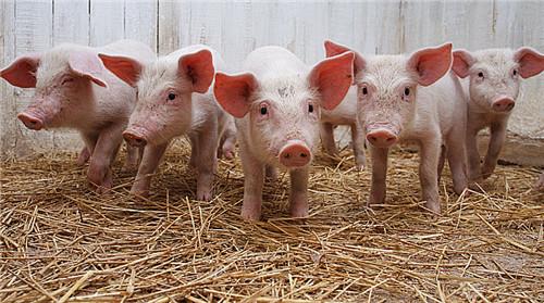 2018养猪四大趋势,赚钱路上别被落下了