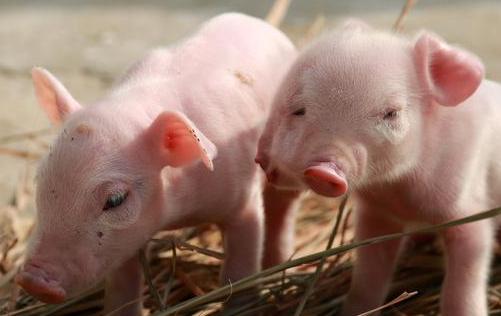 猪呕吐腹泻的看这里 全套的防治措施