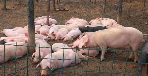 从猪肉消费规律分析:猪价将迎来上涨良机