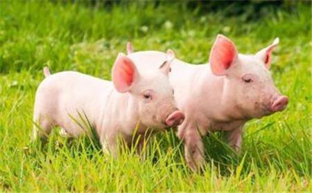 有些猪场在猪价下跌的时候也能挣到钱,是怎么做到的?