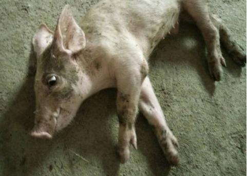 """猪为什么会发生""""倒地症""""?怎么办?"""