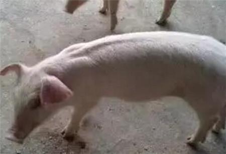 没有抗生素,仔猪如何不腹泻?!