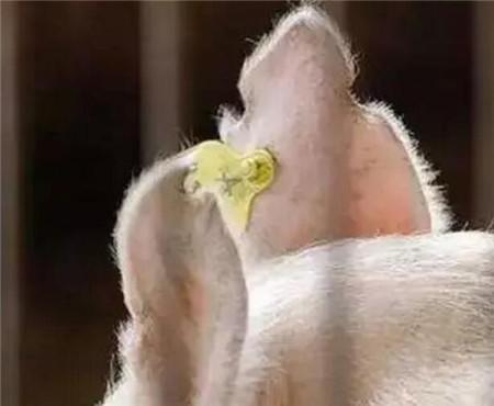 猪耳标的意义都有哪些你知道吗?