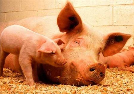 """猪""""蹄裂""""的背后还有哪些问题值得深思?受益匪浅!"""