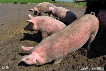 这几种猪常见皮肤病的治疗方法,你学学不?