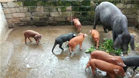 见过这种颜色的猪吗?传说中的土豪猪