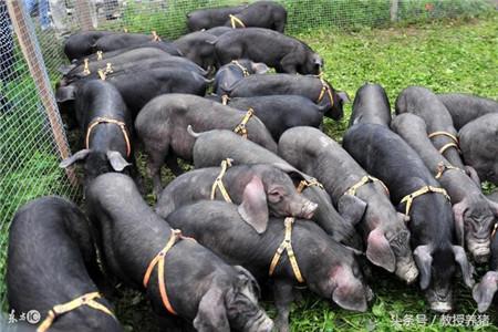 这个时间断奶,母猪一年可以多产1.4头猪