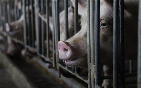 注意!最近猪多发疾病,原来是跟天气有关