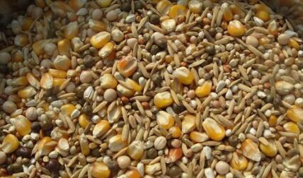 季节性供应压力下 国内外玉米价格或仍将有一波跌势