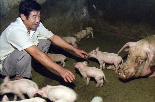 """65%~78%的仔猪都死在 初生阶段,看来这个""""初生关""""不好过!"""