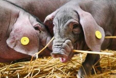 网易又开猪场了,天价猪肉,你会买吗?