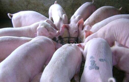 生猪怎么喂养易长膘?生猪易长膘的喂养方法