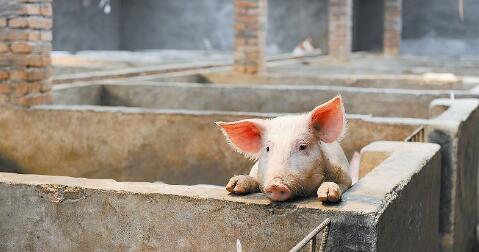 猪价继续反弹0.03元/公斤!开启新一轮上涨周期?