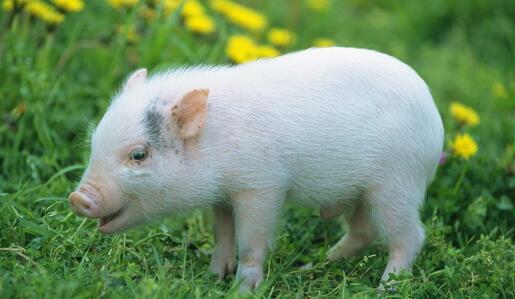 2017年10月21日(20至30公斤)仔猪价格行情走势