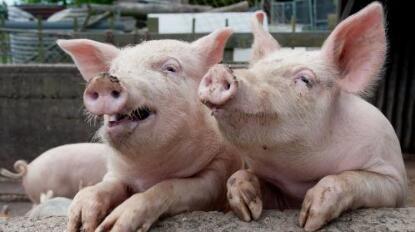 全国猪价开始全面上行了!养猪利润也随之涨了?
