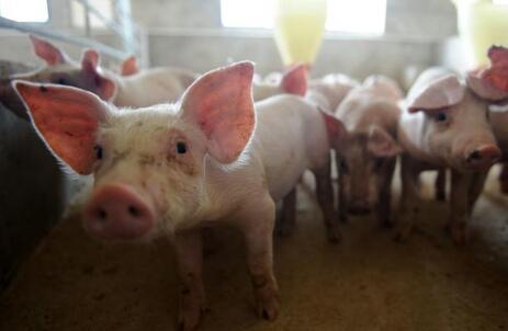 三季报盈利超18亿,牧原将把自繁自养的猪友领至何方?