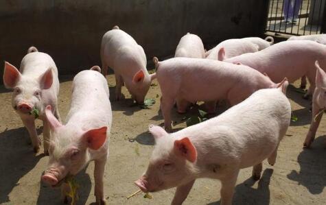 猪价稳步跨入14元!短期内部分地区有继涨的空间
