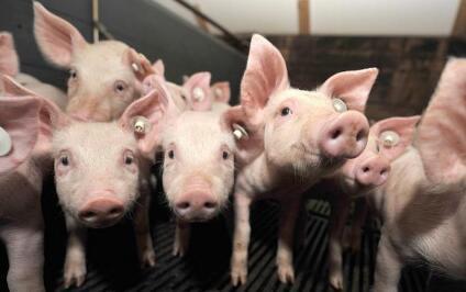 养猪难,难于上青天,每头猪利润已少两三百