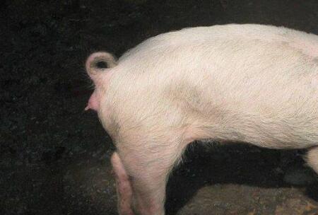 猪霉菌毒素中毒的临床症状及防治措施!