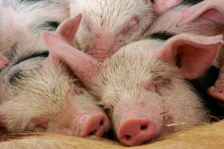 作为养猪人,这5条病猪、弱猪、残猪的处理原则你要知道!