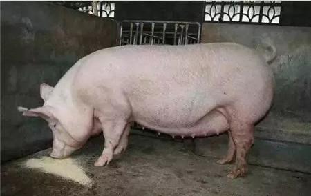 注意!你的母猪可能怀了个假胎!生生吃掉你的钱!