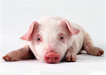 猪的行为学!养猪必须懂猪……