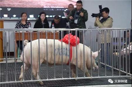 下旬猪价会涨?全国存栏真降啦?养猪还有300万奖励,让人眼红!