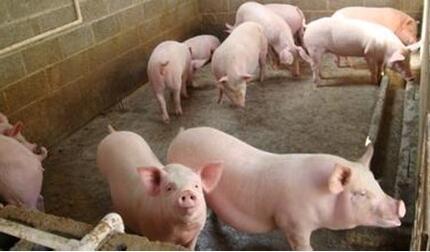 都瞄准冬季生猪市场,那年底猪价还怎么涨?