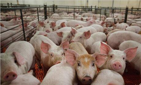 避免猪周期,需从我国生猪生产的模式转换上寻求出路!