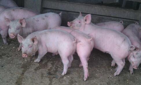 生猪价格上涨的动力不足,短期以稳为主!