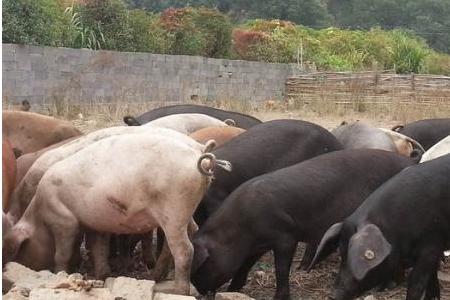 前三季度 南方水网密集区 生猪存栏调减2300万头