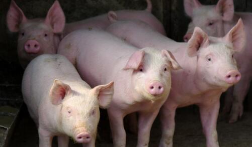 生猪价格连涨反攻,这次猪价能连涨一个月?