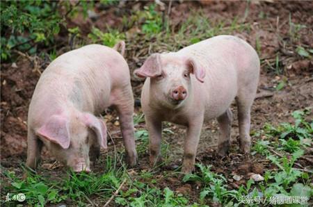 今冬养猪,这样做可以避免猪群再发生口蹄疫!