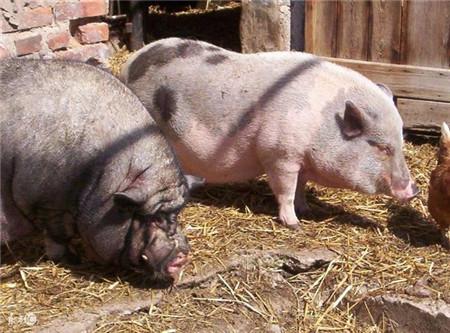 猪场种猪拱门、滑精是什么症状,兽医给出权威解答
