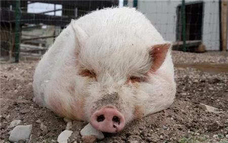 猪发生便秘该怎么治疗?用硫酸镁真的有用吗?