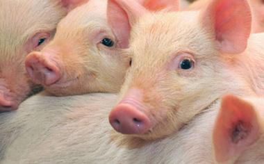 猪价回升有望持续到春节前?